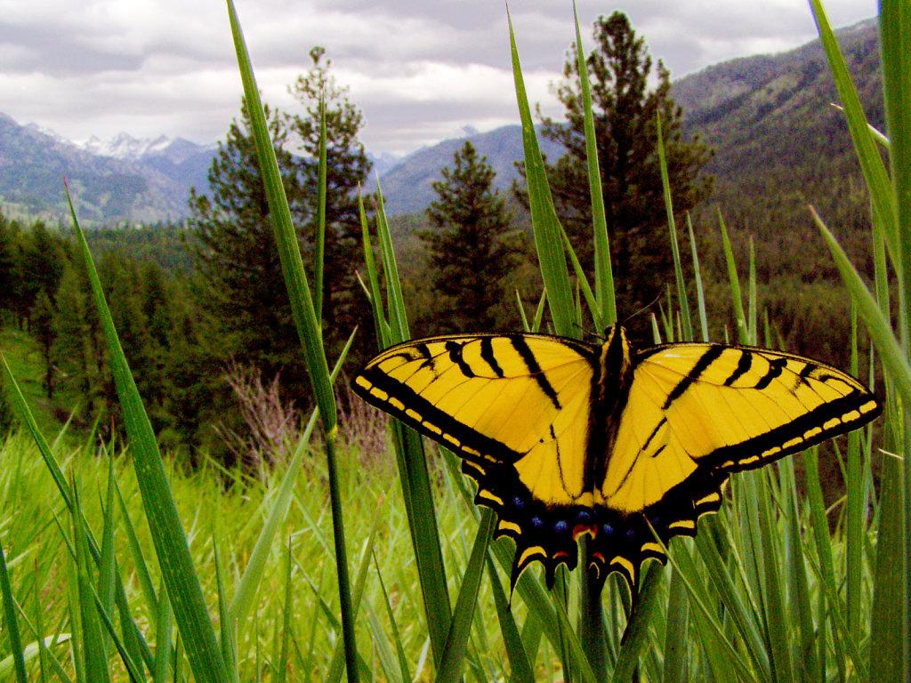 Idaho Swallowtail